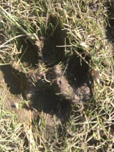 """A four-toed track with claw marks (not visible; they could be felt, though). Approximately 4.25"""" long, matching the description of gray wolf tracks."""